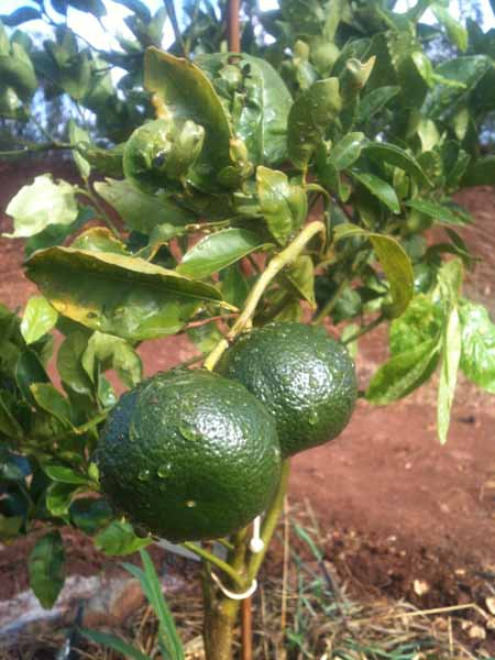 citrus trees already producing