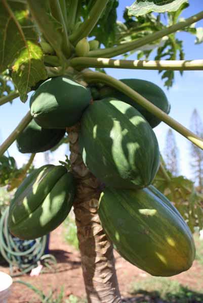 lots of papaya